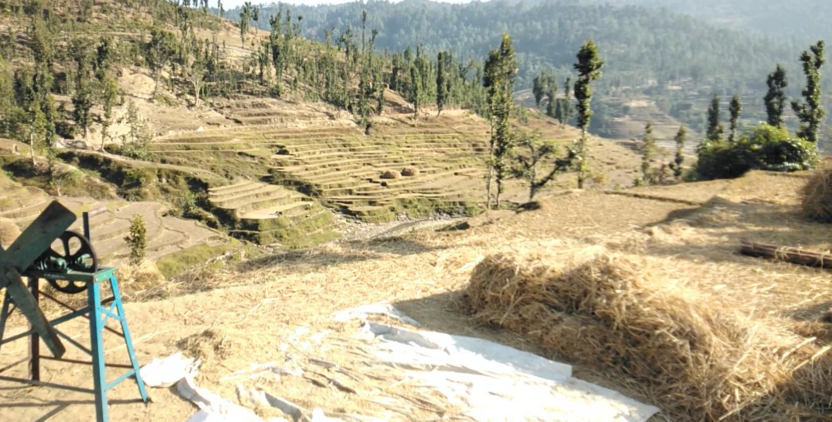 धान भित्र्याउन व्यस्त किसान, दैलेखमा धान उत्पादन बढ्ने